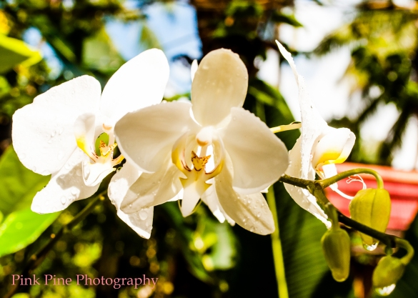 White orchids of Port Barton